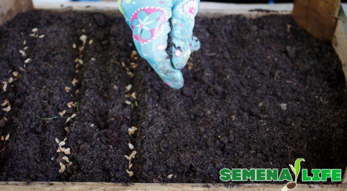 посев семян туи