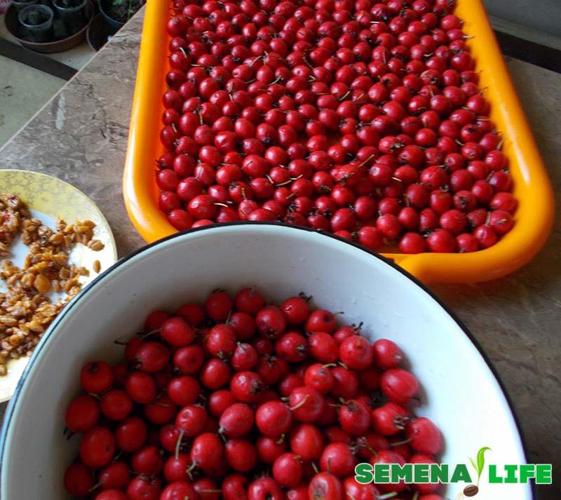 сбор семян боярышника