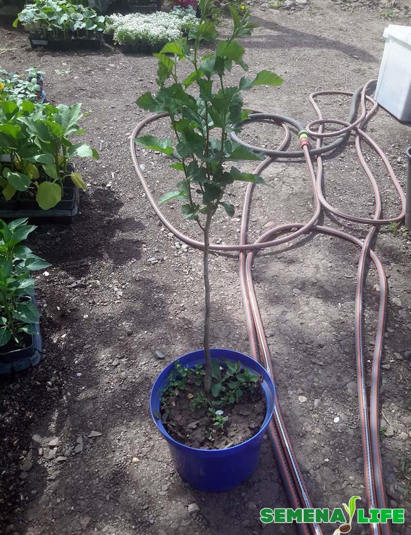 выращивание боярышника