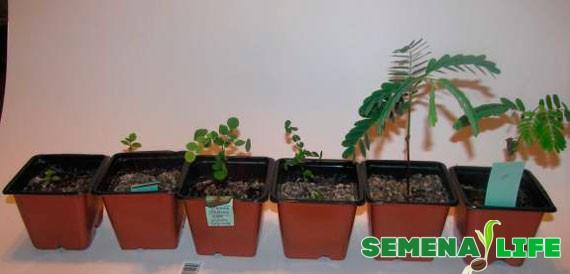 проросшие растения Бонсаи