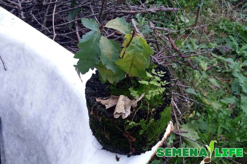 высадка ростка дуба
