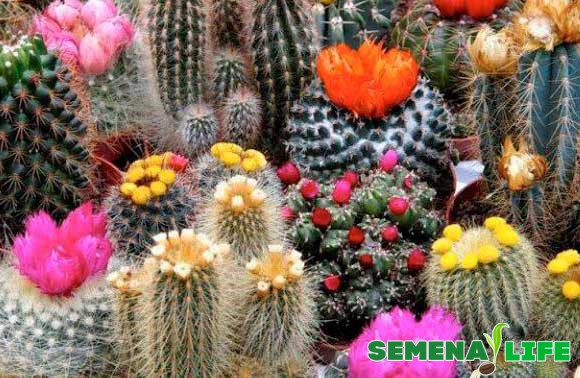 Цветение кактусов на 5 год