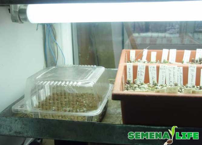 Мини теплица для проращивания кактуса