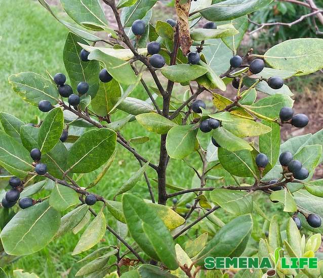 Лавровое дерево в природе