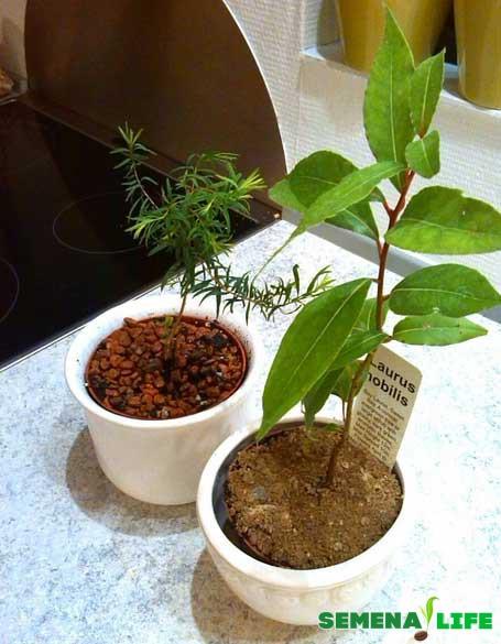 Выращивание лаврового листа из семян