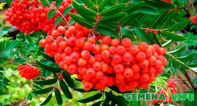 алые ягоды рябины