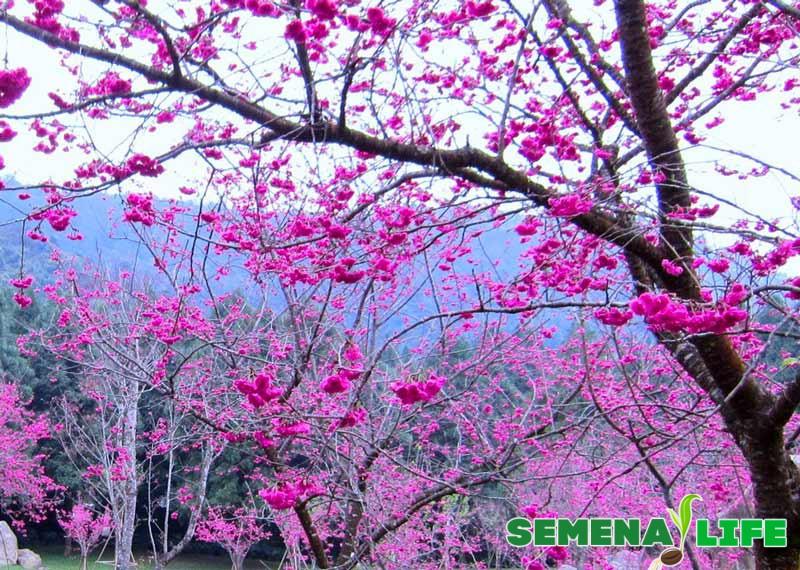 Сакура дерево в Японии