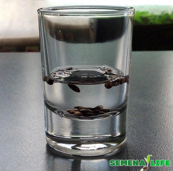 Семена кедра вымачивают в воде