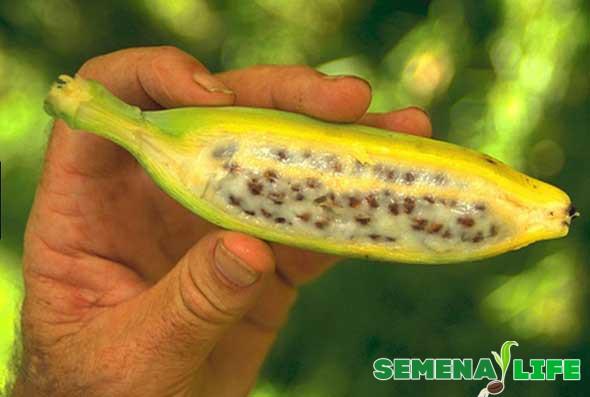 мини банан с семенами