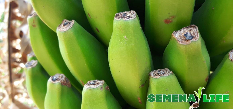 Как посадить и вырастить банан в домашних условиях 1