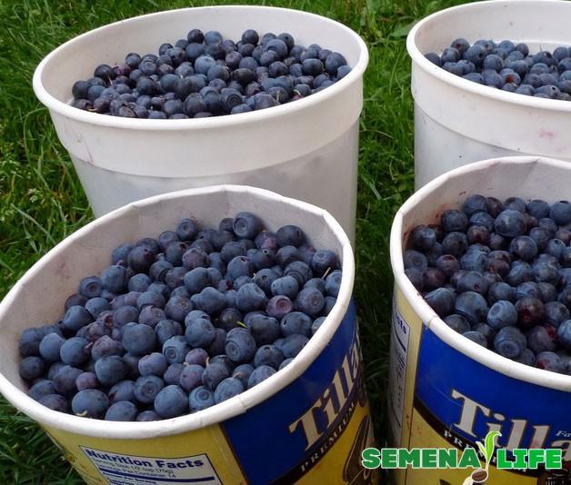Условия для выращивания черники 61