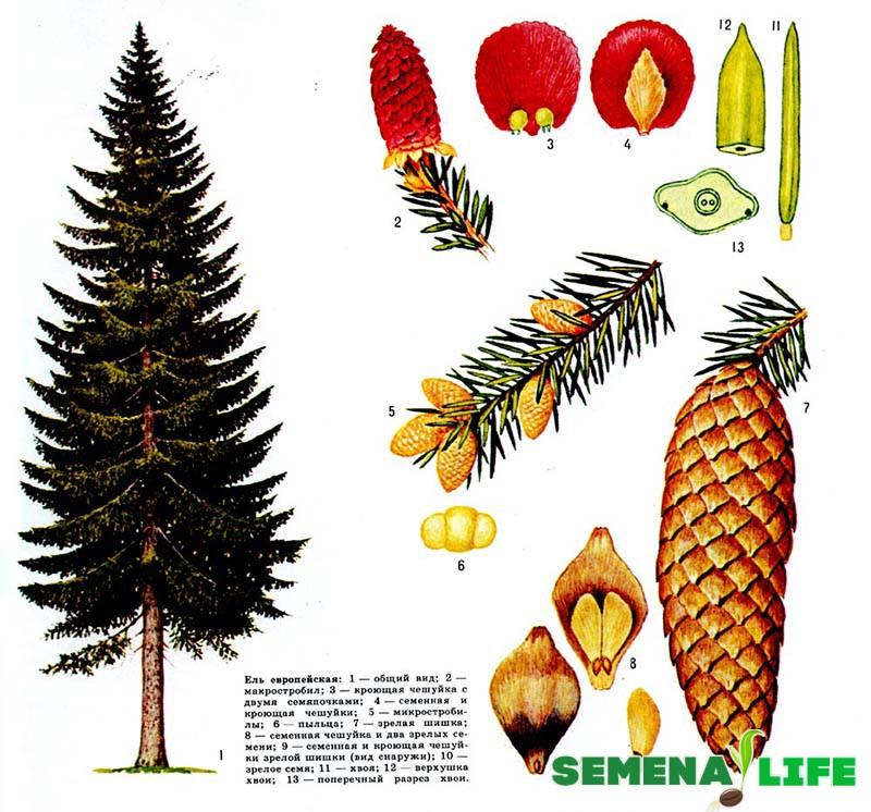 елка семена