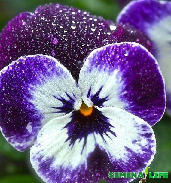 глазки анютины цветок фиолетовый
