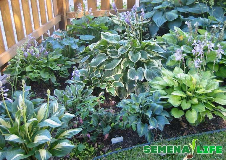хоста в саду несколько видов