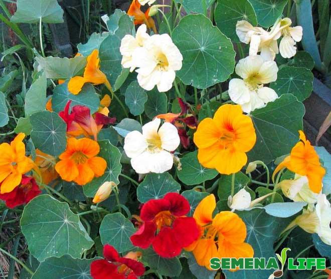 взрослые цветы настурции
