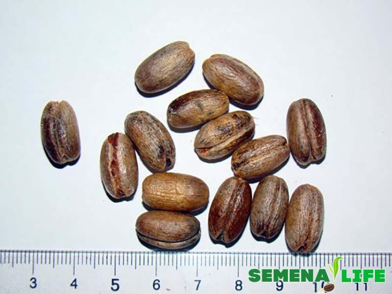 пальма семена