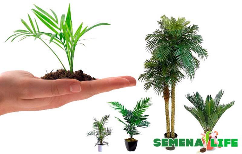пальма выращивание