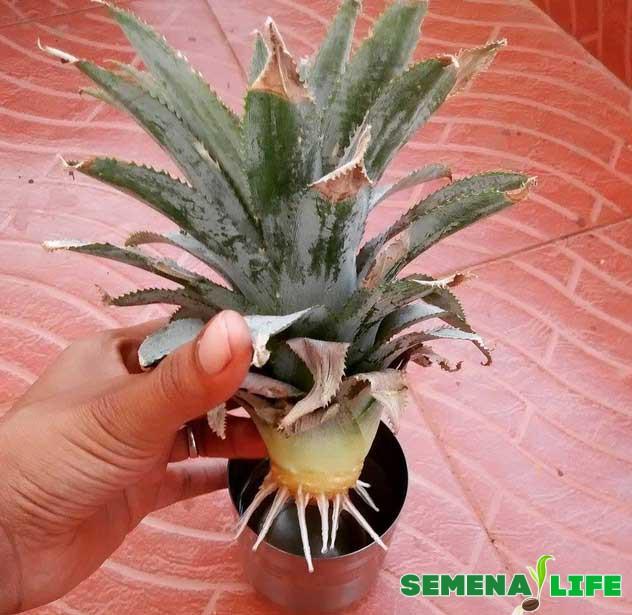вырастить ананас дома