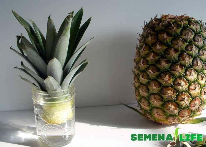 ананас в банке выращивание