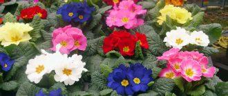 цветы примула