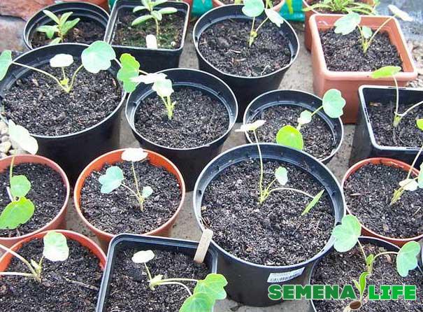 вырастить рассаду настурции