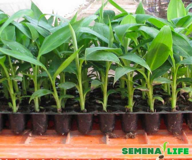 рассада банана из семян