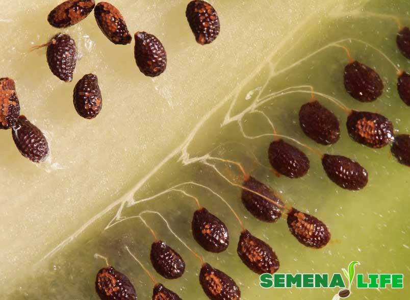 семена киви увеличение