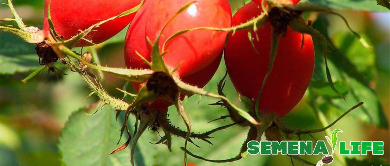 как вырастить шиповник из семян на даче