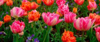 тюльпан Tulipa