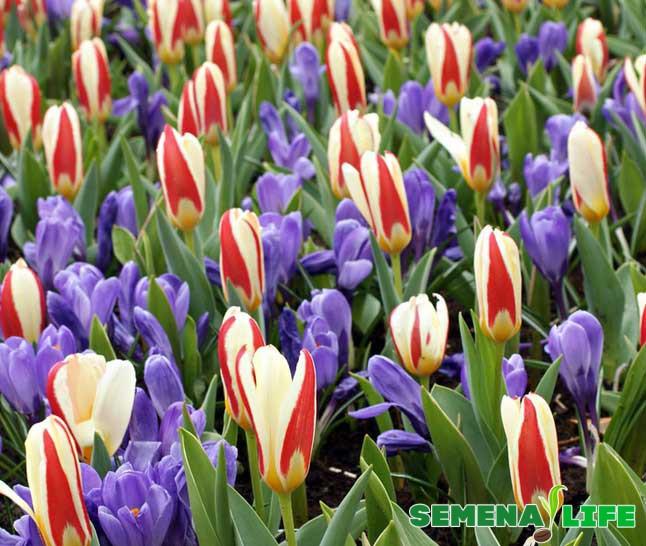 тюльпаны из семян
