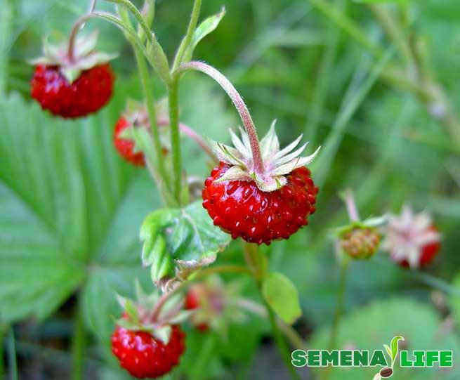 ягода земляника