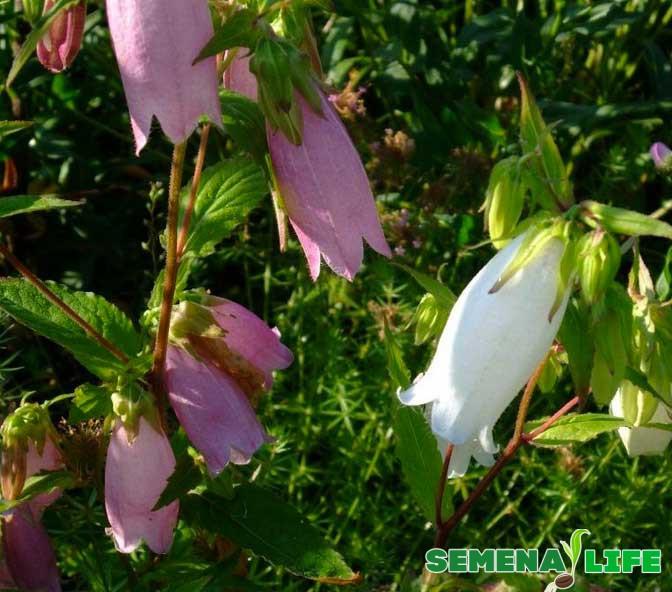 колокольчик дачный цветок
