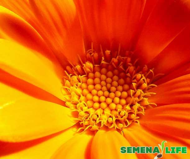 календула красивый цветок