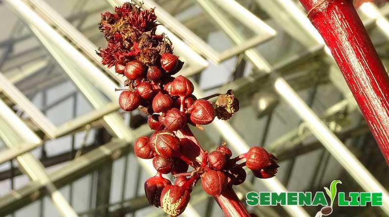 сбор семян клещевины