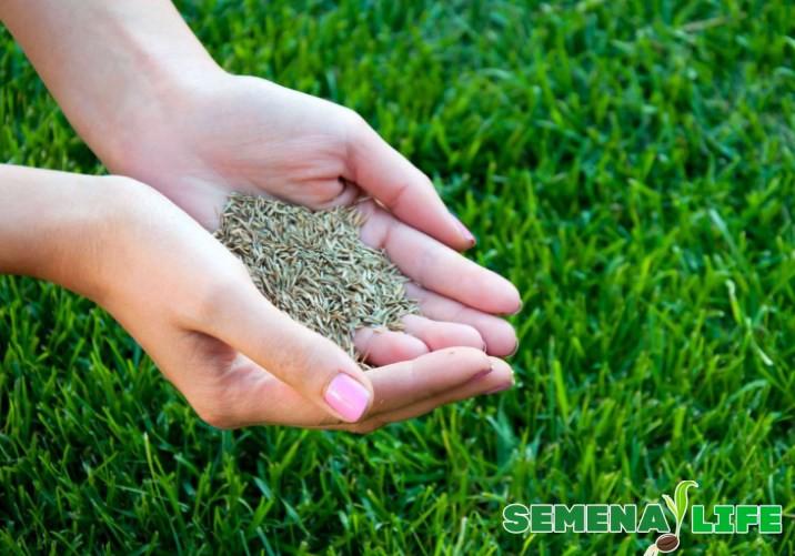 Газонная трава - семена