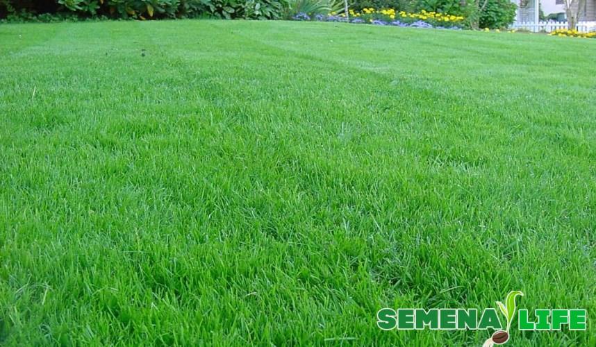 Газонная трава зеленая