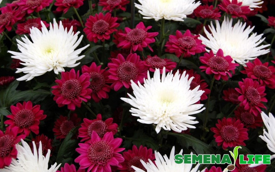 Хризантемы бардовые и белые
