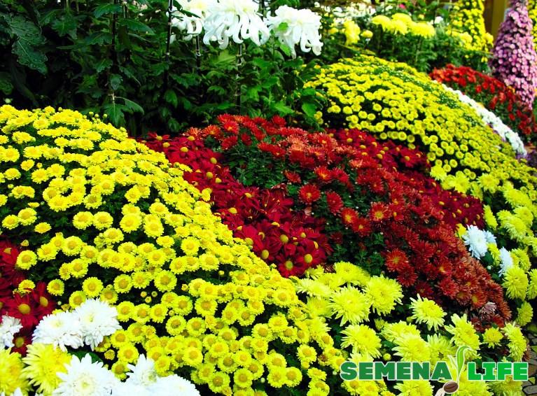 Ковер хризантем