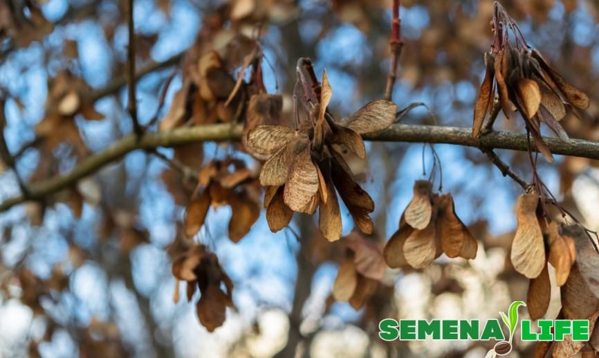 Семена крылатки