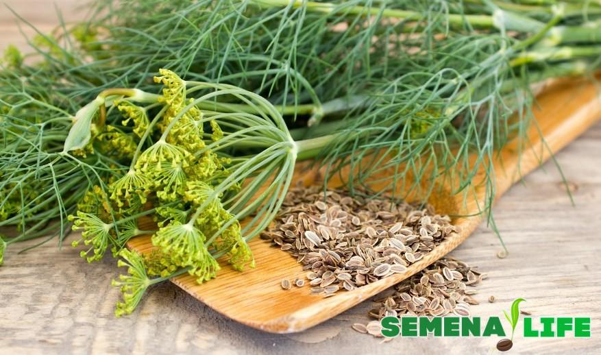 Семена укропа и зелень