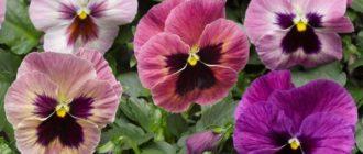 виола посадка семян