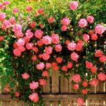 плетистая роза из семян