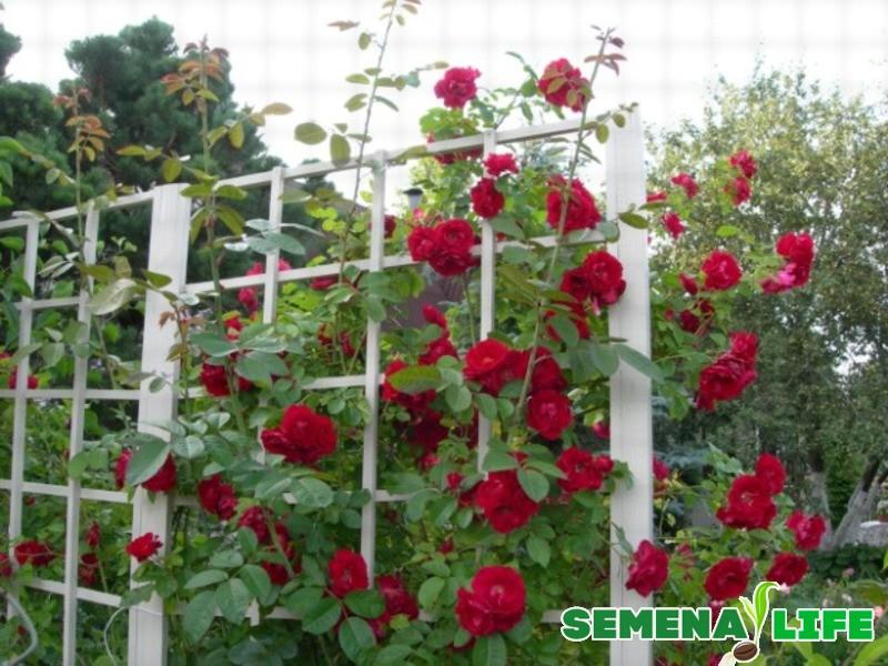вырастить плетистую розу