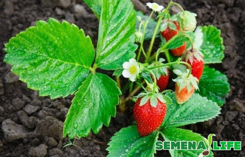 ягоды клубники для сбора семян