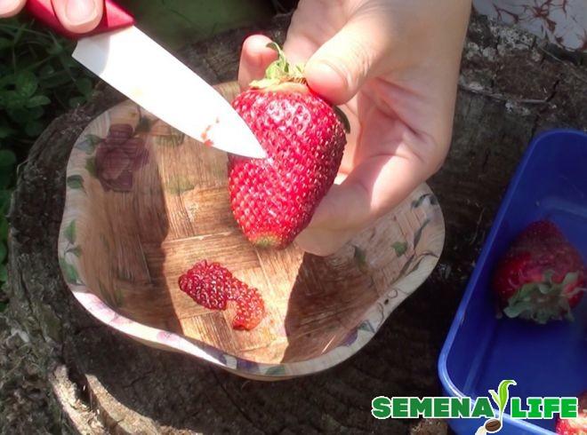 сбор семян клубники ножом