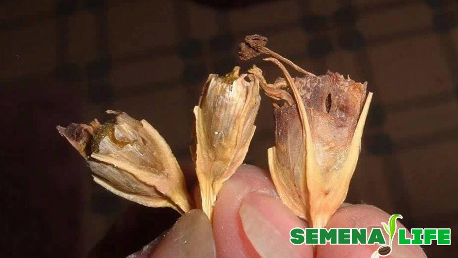 как собирать семена эустомы
