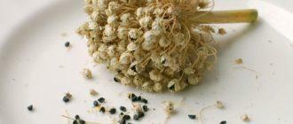 как собрать семена лука
