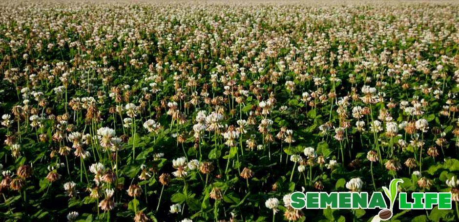 Как собирать клевер на семена
