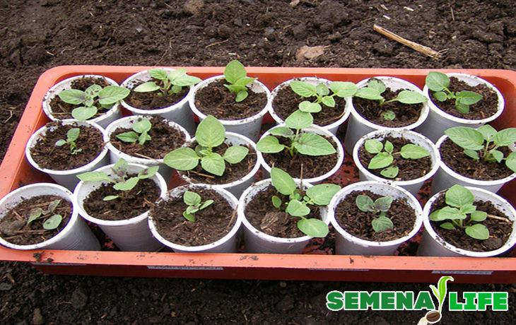 Как подготовить семена картофеля к посадке