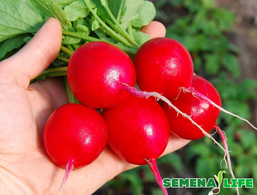 Принципы отбора корнеплодов